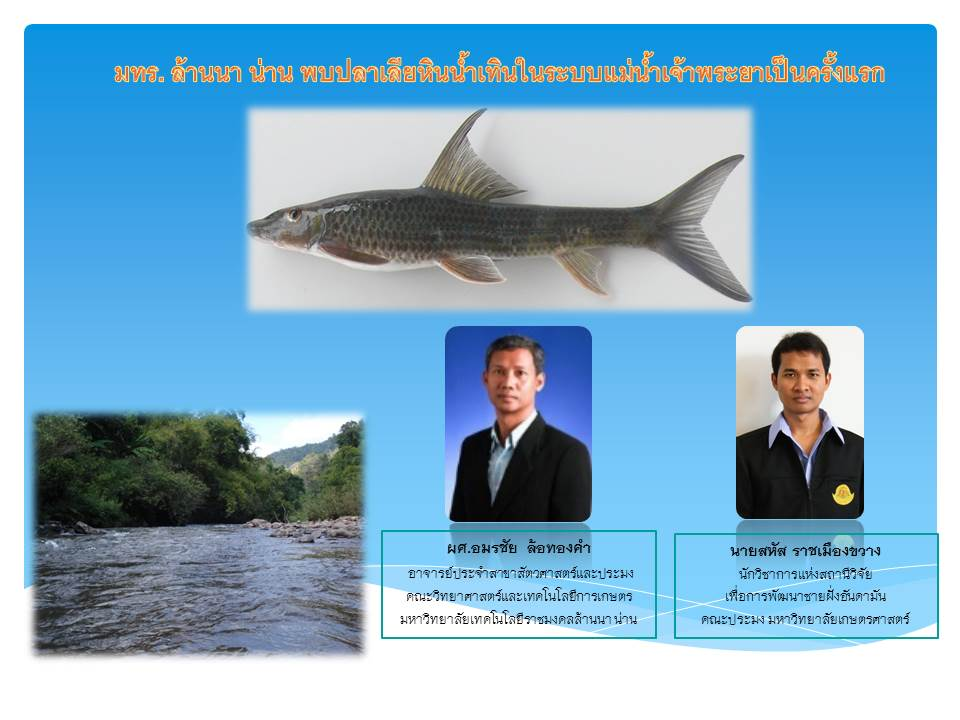 มทร. ล้านนา น่าน พบปลาเลียหินน้ำเทินในระบบแม่น้ำเจ้าพระยาเป็นครั้งแรก