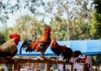 รูปภาพ : ประกวดไก่ตั้งไก่ต่อ