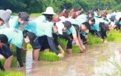 กิจกรรมรับน้องใหม่ด้วยการดำนาเรียนรู้วัฒนธรรมไทย