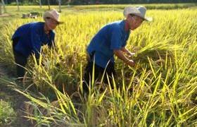 รูปภาพ : มทร.ล้านนา ลำปาง จัดโครงการเกี่ยวข้าววันพ่อ เผยแพร่สู่ชุมชน น้อมนำพระราชดำริเศรษฐกิจพอเพียงถวายพ่อหลวง เนื่องในวันเฉลิมพระชนมพรรษา