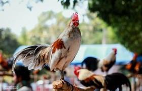 รูปภาพ : แข่งขันไก่ตั้ง (ไก่ต่อ) ในงานเกษตรน่านแฟร์ ครั้งที่ 3 มหกรรมยางพาราท้องถิ่นของดีเขตภาคเหนือ ประจำปี 2563